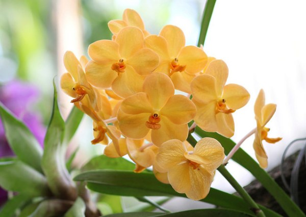 Ibridi vanda orchidea - ascocenda