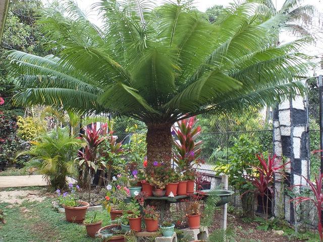 Cycas seemannii