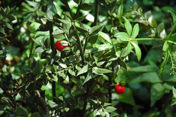 Pungitopo - ruscus aculeatus
