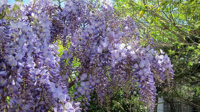 Wisteria sinensis 'Blue Sapphire'