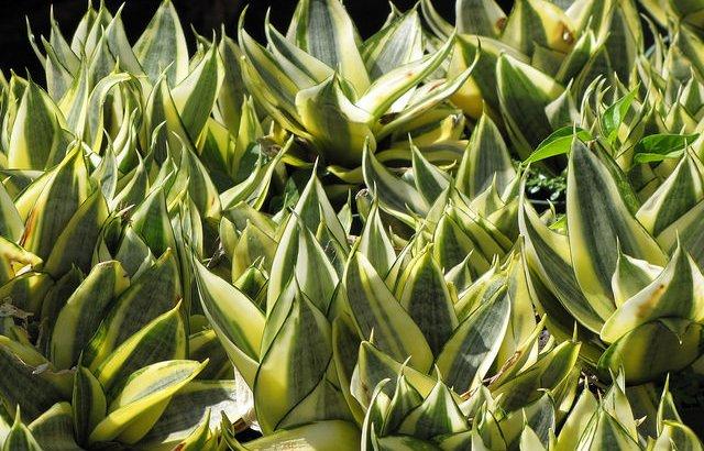 Sanseviera trifasciata
