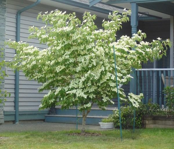 Consociazione Corniolo giapponese: a quali piante abbinarlo?