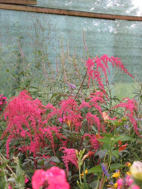 Astilbe x thunbergii rote straussenfeder