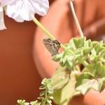 Rimedi e Cura contro la Farfallina dei Gerani (Cacyreus Marshalli)