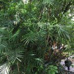 Palma di Bambù (Chamaedorea seifrizii)
