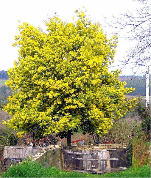 Albero Acacia dealbata