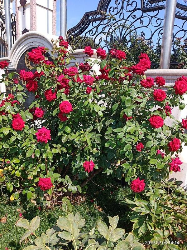 Rosa Chinensis, rose arbustive e paesaggistiche