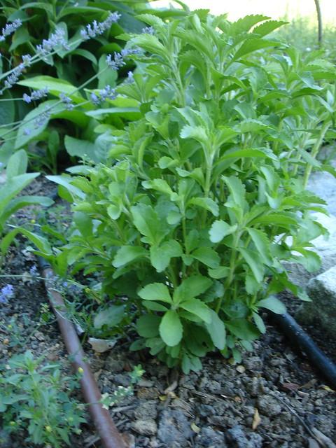 Coltivazione in piena terra Stevia rebaudiana
