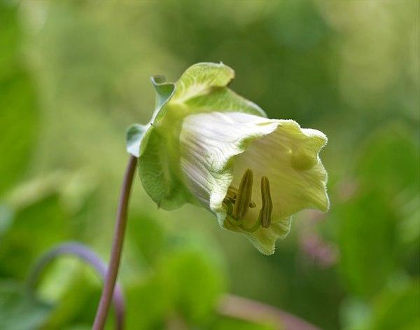 Cobaea scandens (Cobea)