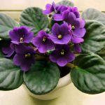Violetta Africana (Saintpaulia ionantha)