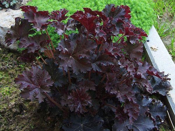 coltivazione heuchera micrantha