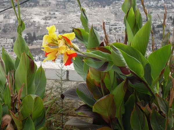 coltivazione in vaso Canna