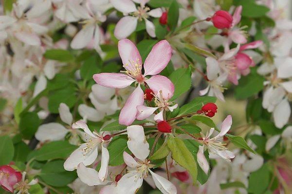 melo ornamentale da fiore malus floribunda
