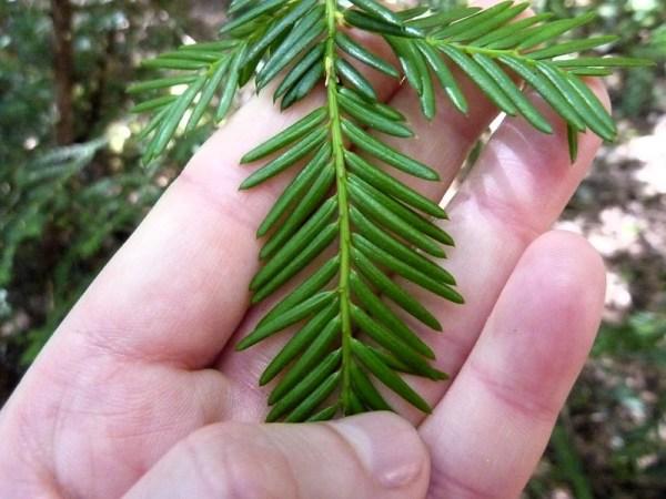 Coltivazione Tasso del Pacifico (Taxus brevifolia)