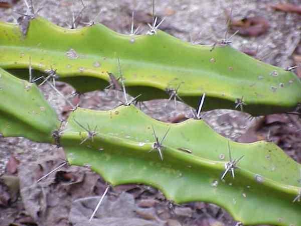 Acanthocereus pentagonus
