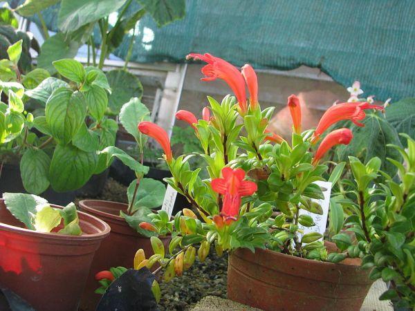 coltivazione in vaso Eschinanto