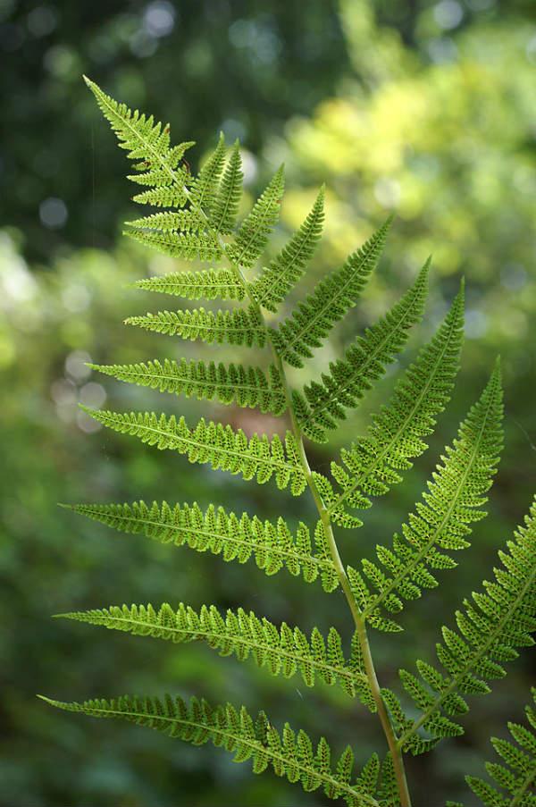 Athyrium_filix-femina_(Leaf)