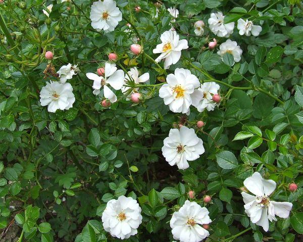 Rose tappezzanti Avon