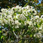 Corniolo da Fiore (Cornus florida)