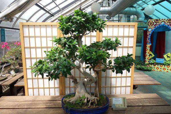 Ficus bonsai retusa