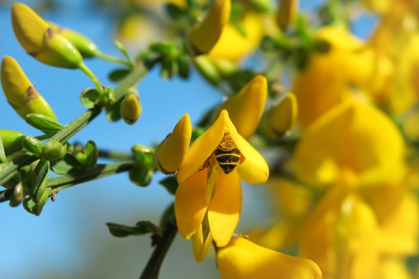 Piante mediterranee da giardino: ginestra