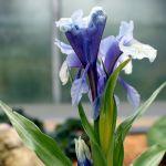 Iris Junos (sottogenere Scorpiris)