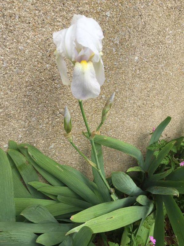 Iris barbate, Iris florentina