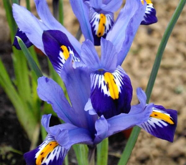 Iris varietà Gordon