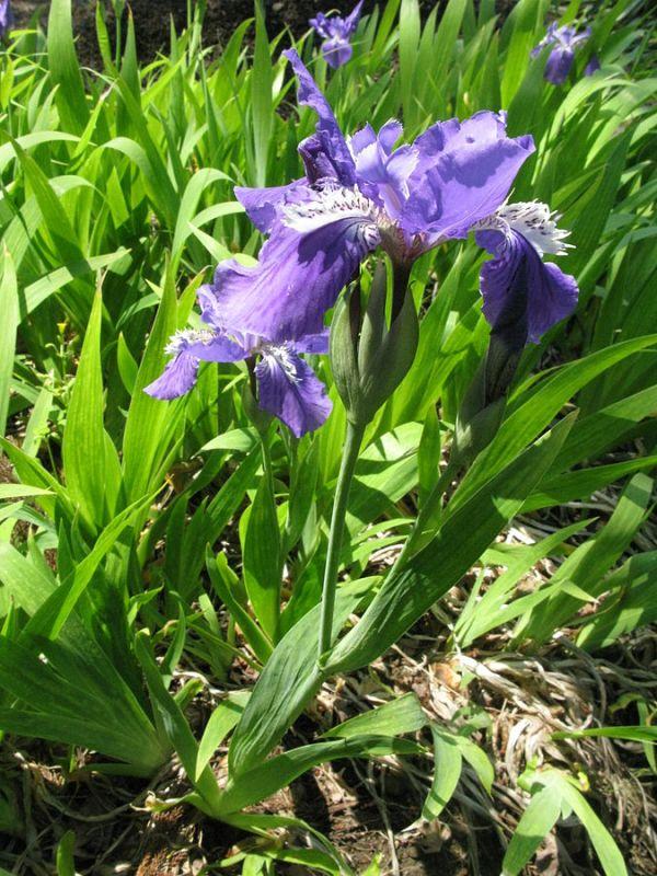Iris crestati Iris tectorum