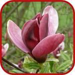 Magnolia obovata comunemente detta Magnolia Giapponese