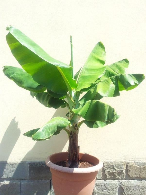 Musa Banano nano Cavendish