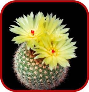 Notocactus - scopa
