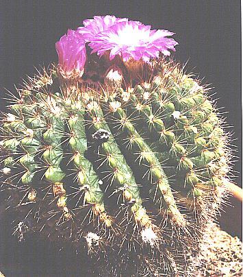 Notocactus herteri