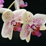 Come innaffiare le Orchidee?
