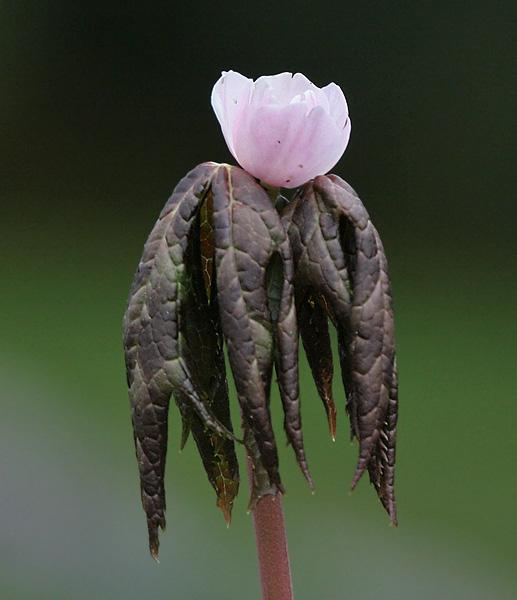 Podophyllum hexandrum (Sinopodophyllum hexandrum)