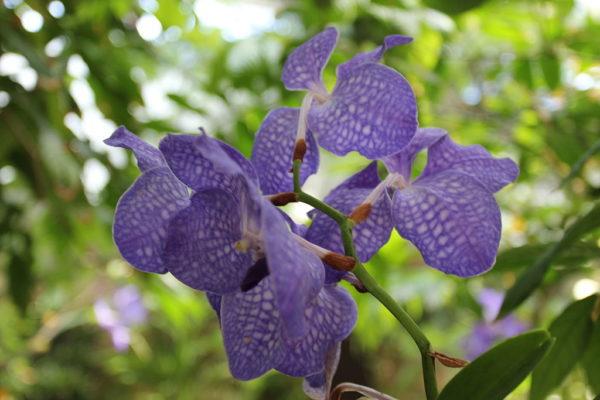 Orchidea vanda coerulea