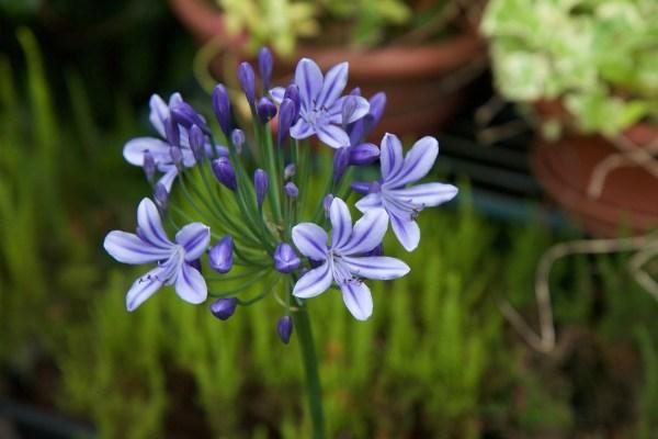 Cosa fiorisce a Luglio: Agapanthus