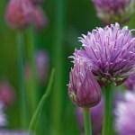 Erba Cipollina – Allium Schoenoprasum