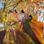 Corniolo sanguinello (Cornus sanguinea)