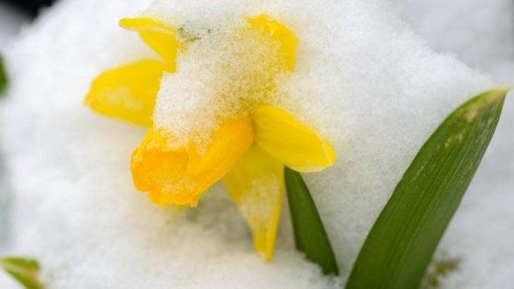 Cosa fiorisce a Dicembre: Narciso