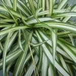 Falangio o Nastrino (Chlorophytum)