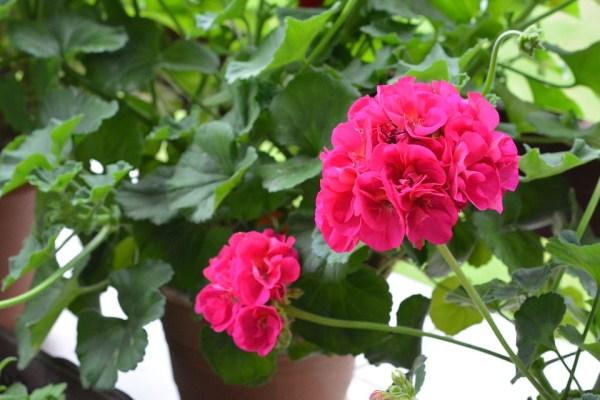Coas fiorisce a Giugno? il Geranio