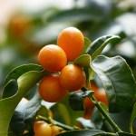 Mandarino cinese o kumquat o cumquat