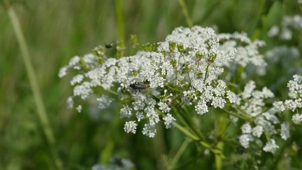 fioritura cerfoglio