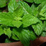 Menta Piperita (Mentha × piperita)