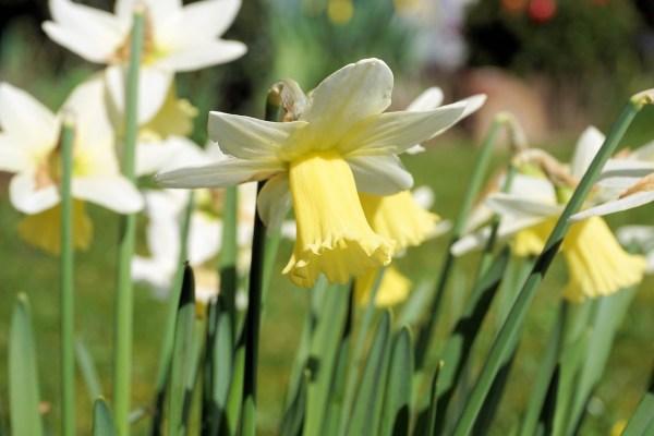 Narciso trombone (Narcissus pseudonarcissus)