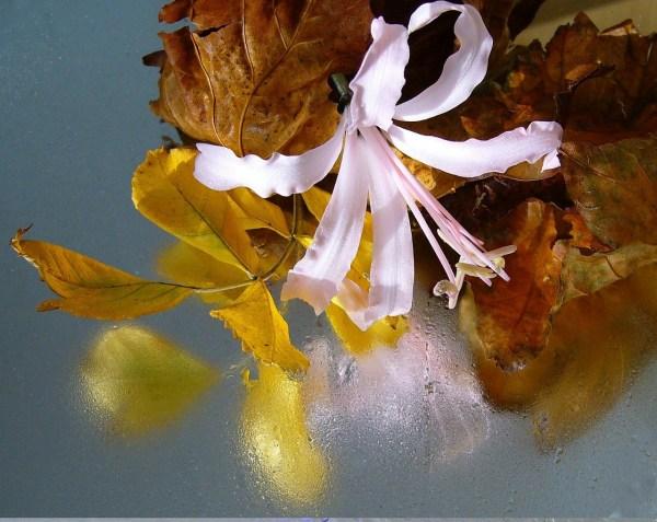 Bulbose a fioritura estiva: Nerine