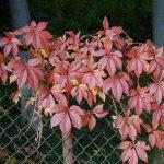 Parthenocissus (Vite del Canada)