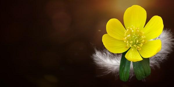 Potentilla, fiori da regalare alla festa della mamma