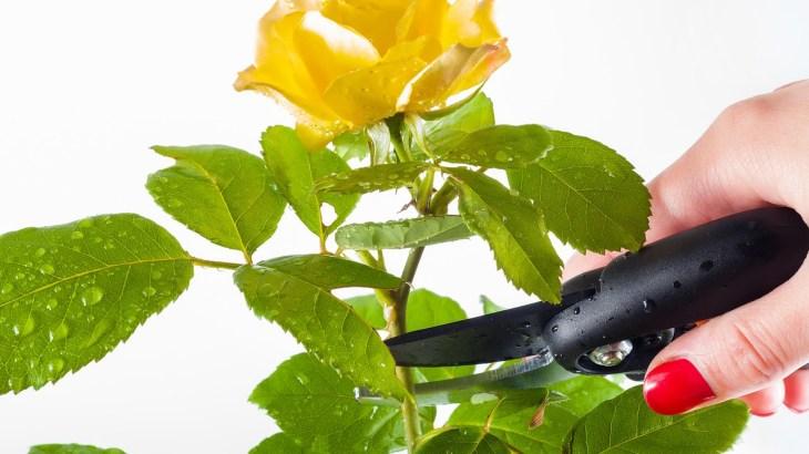 Potatura Rosa